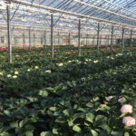 WORLDWIDE TEST LOCATIONS HBA CUT FLOWER HYDRANGEAS