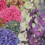 NEW HYDRANGEA CUT FLOWERS FROM HBA AND DEWI DELPHINIUM AT TRADE FAIR AALSMEER