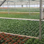 BRAZILIAN GROWERS SEE FUTURE AHEAD FOR KALANCHOE SELECTIONS FROM PERFECTA BREEDING