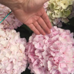 HBA STARTS NEW TRIAL SITE OF CUT FLOWER HYDRANGEAS IN COLOMBIA