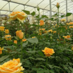 ROSES ON SHOW : OPEN DAYS AT WAC IN NAIVASHA
