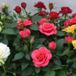 WEBSITE DIFFERENCE ROSES ONLINE