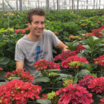 VIEW ON ROYAL HYDRANGEA CUT FLOWERS FROM HBA AT TRIAL SITE AGRIOM