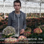 HBA SHOWS A SELECTION OF ROYAL CUT FLOWER HYDRANGEAS AT TRADE FAIR AALSMEER BOOTH 22.18