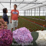 PRODUCTION HYDRANGEA YOUNG PLANTS AND VISIT TEST LOCATION