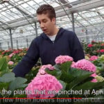 SURPRISING RESULTS IN PINCHING TRIAL HBA CUT FLOWER HYDRANGEAS