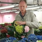 NEW HBA POT HYDRANGEAS TEST WELL FOR SHELF LIFE