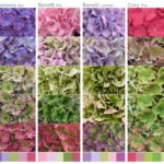 HBA PRESENTS COLOR POSTER CUT HYDRANGEA